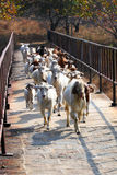 Sheep across the bridge Royalty Free Stock Photos