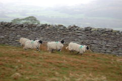 Sheep in action Royalty Free Stock Images