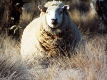 The sheep. Adult sheep with full fleece Stock Photography