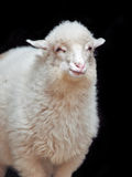 Sheep against black background Royalty Free Stock Photo
