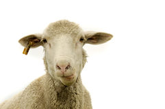 Sheep against white. A sheep close up against a white background Stock Photo
