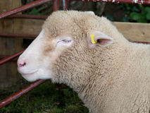 Sheep at agricultural show. Stock Photos
