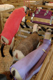 Sheep at Agriculture Fair. Colorfully cloaked sheep in pen at the TVA&I Fair in Knoxviulle, TN Stock Image
