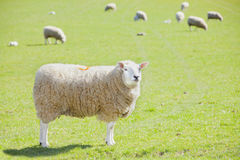 Sheep agriculture. Agriculture, many sheep livestock in farm field Stock Photos