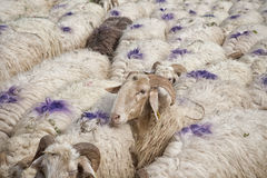 Sheep all over Royalty Free Stock Photography