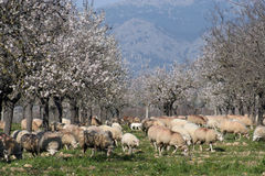 Sheep and almond trees Stock Images