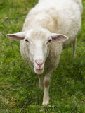 Sheep alone Stock Photo