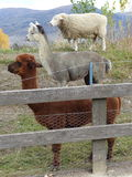 Sheep alpaca llama stack. Sheep alpaca and llama appearing to stand on each other's backs stock photos