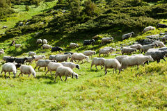 Sheep in the alpine meadows Royalty Free Stock Image