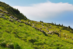 Sheep in the alpine meadows Stock Photography