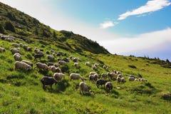 Sheep in the alpine meadows Stock Photos