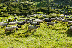 Sheep in the alpine meadows Stock Images