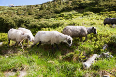 Sheep in the alpine meadows Stock Image