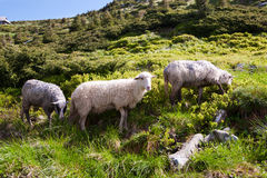 Sheep in the alpine meadows Royalty Free Stock Photo
