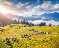 Sheep on alpine pasture in sunny summer day. Stock Photography