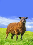 Sheep is amazed. Stock Image
