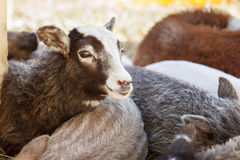 Sheep amidst other domestic animals Royalty Free Stock Photo