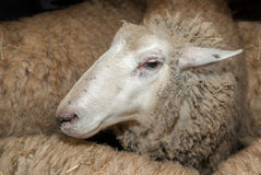 Sheep Amongst Other Sheep Waiting to be Sheared Stock Image
