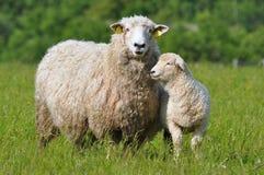 Sheep And Its Lamb Stock Photo