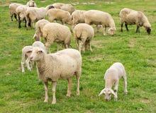 Free Sheep And Lamb Royalty Free Stock Image - 33954046