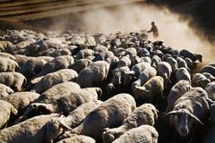 Sheep And Shepherd Stock Image