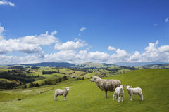 Sheep And Two Lambs Grazing Royalty Free Stock Photo