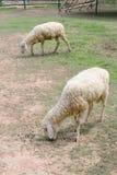 Sheep in animal farm Royalty Free Stock Photos