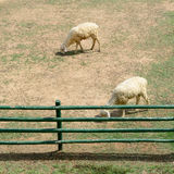 Sheep in animal farm Stock Photography