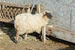 Sheep. Animal pasture rural lamb field agriculture  shearing shear hay ewe eating food natural farmer farm nature countryside landscape scenery farming royalty free stock photography