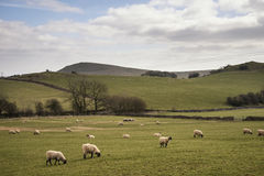 Sheep animals in farm landscape on sunny day in Peak District UK Royalty Free Stock Image
