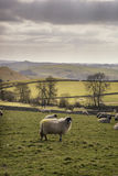 Sheep animals in farm landscape on sunny day in Peak District UK Royalty Free Stock Images