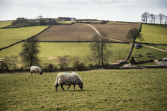 Sheep animals in farm landscape on sunny day in Peak District UK Royalty Free Stock Photography