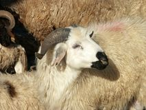 Sheep and aries. Close up image of sheep and aries royalty free stock photo