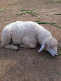 Sheep. As sleeping on the ground Stock Photography