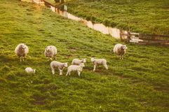 Sheep as symbol of 2015 year Stock Photos