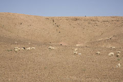 Sheep in Atlas mountains Stock Image