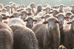 Sheep attention please!. In a herd all the sheep are careful Stock Photos