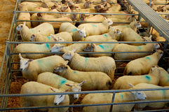 Sheep auction. Sheep at the market, livestock for sale Stock Images