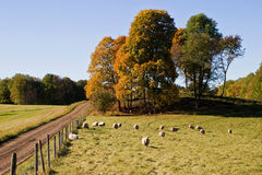 Sheep in autmn landscape Stock Photo