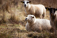 Sheep in Autumn Stock Photo