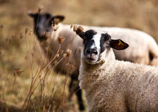 Sheep in Autumn Stock Image
