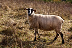 Sheep in Autumn Royalty Free Stock Photo