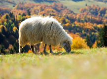 Sheep on a field stock image