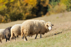 Sheep on a field Stock Photos