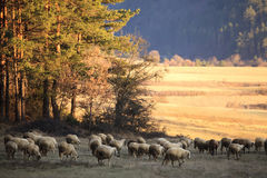 Sheep in autumn field. Sheep herd in sunset autumn meadows, warm colors royalty free stock photo