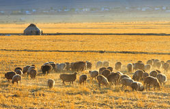 Sheep on autumn prairie, Xinjiang China Stock Images