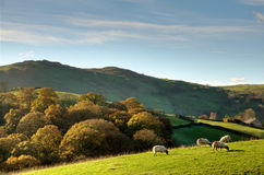 Sheep in autumnul English rural scene Royalty Free Stock Images
