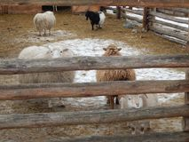 Sheep and sheep in the aviary. On the farm royalty free stock images