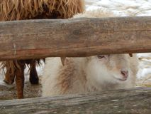 Sheep and sheep in the aviary. On the farm stock photo