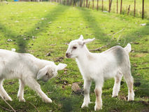 Sheep baby. Very lovely two baby sheep in farm Stock Photo